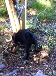 Här kollar Java om Emanuel gömt något där stolpen går ner i marken. Foto:LPR