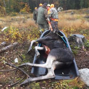 Teamwork med nyinköpta Canadapulkan när älgen skall ut från skogen.