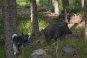 nikhe och gris1